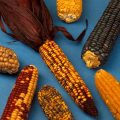 Varieties of maize, public domain, Wikimedia Commons